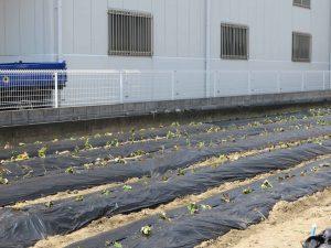苗を植えた畑